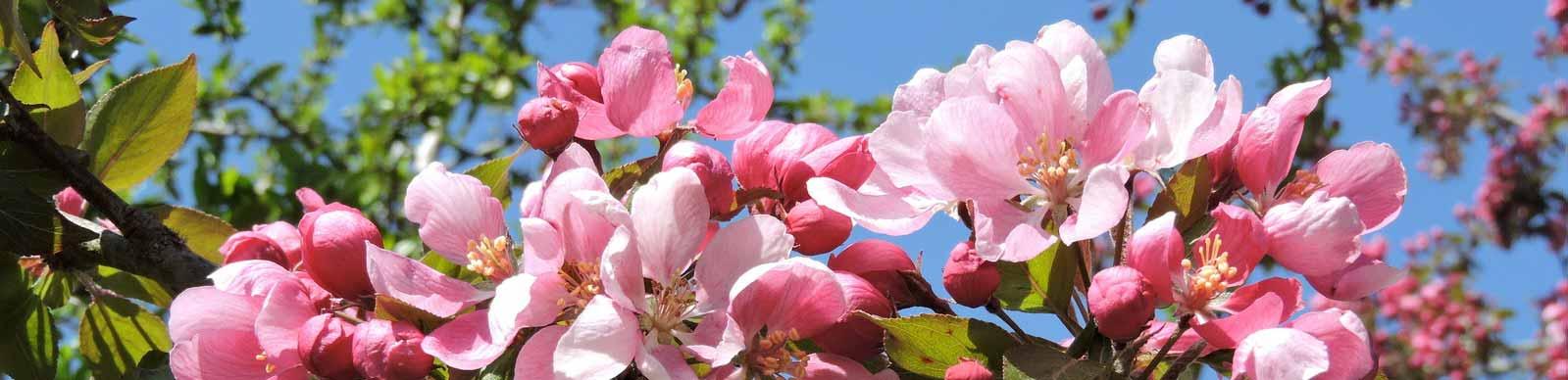 Pommiers en fleurs Normandie