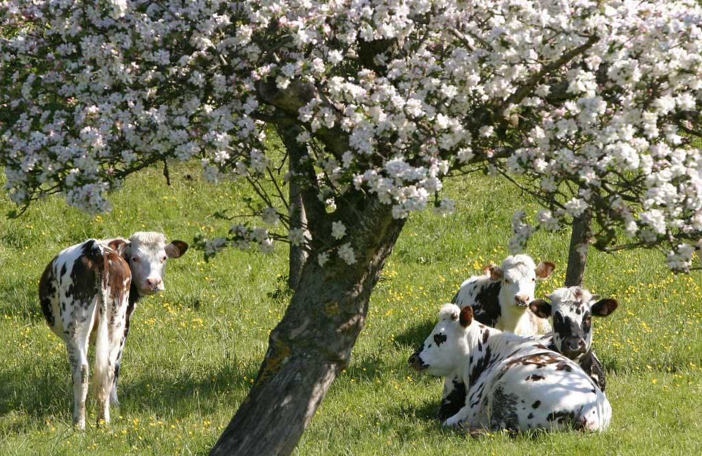 vaches sous les pommiers normands